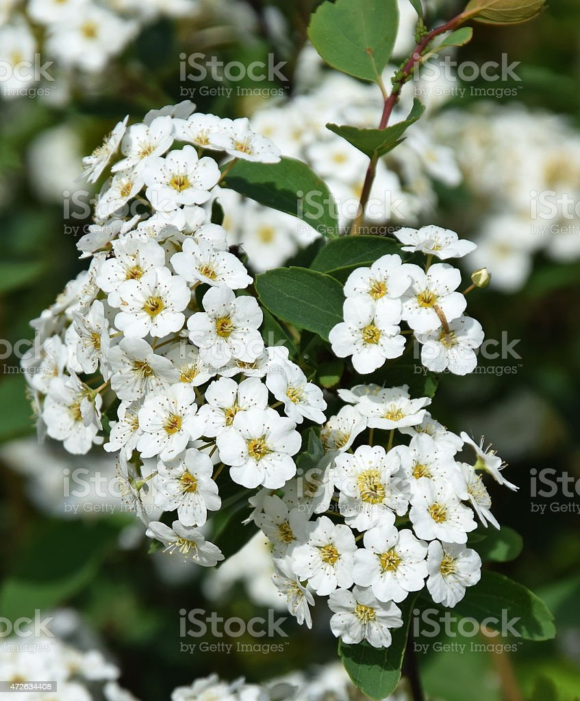 White flowers of a bush in springtime stock photo