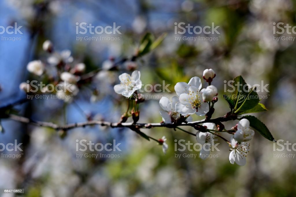White flowers of blooming tree cherry. Spring colors on textured background royalty-free stock photo