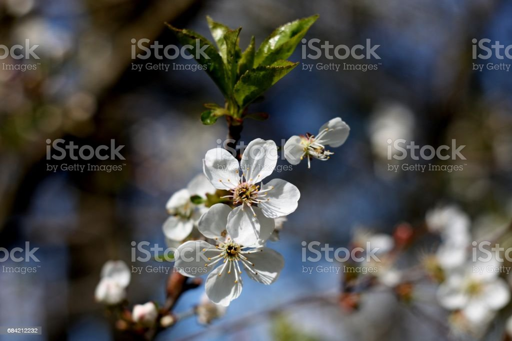 White flowers of blooming tree cherry. Spring colors royalty-free stock photo