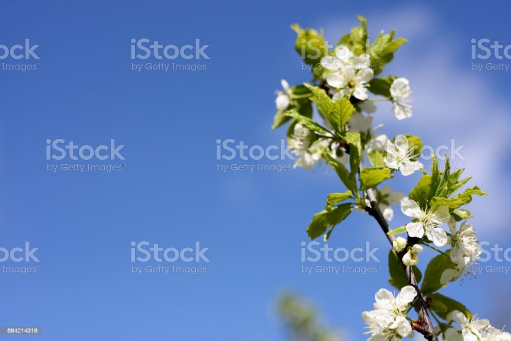 White flowers of blooming tree plum. Spring colors on bright blue sky texture royalty-free stock photo