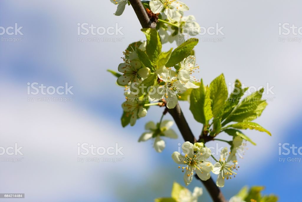 White flowers of blooming tree plum. Spring colors on bright blue sky background royalty-free stock photo