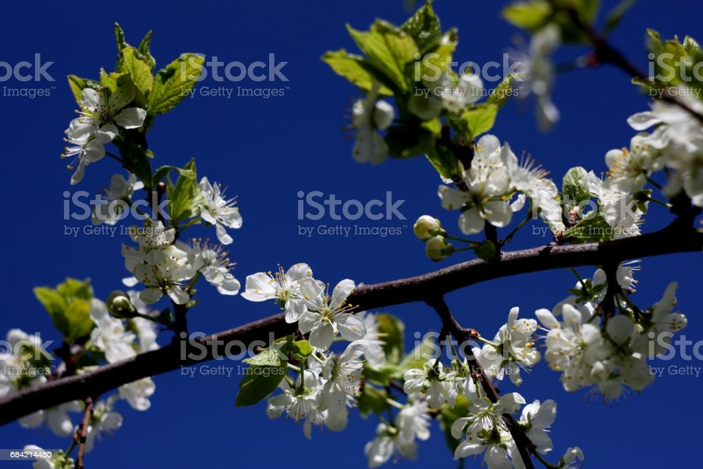 White flowers of blooming tree plum. Spring colors on picturesque blue sky background royalty-free stock photo