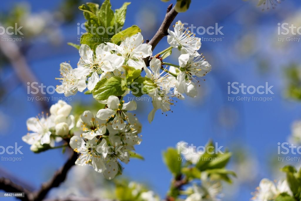 White flowers of blooming tree plum. Spring colors on textured blue sky background royalty-free stock photo