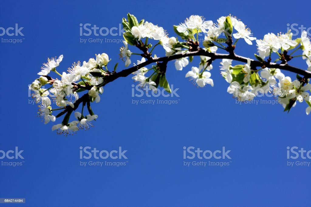 White flowers of blooming tree plum. Spring colors royalty-free stock photo