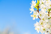 White flowers of cherry blossoms on sunny spring day. Blooming sakura tree on sky background in garden or park. Cherry blossom.