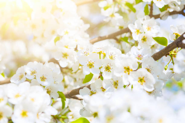 white flowers of cherry blossoms on sunny spring day - stamen stock photos and pictures