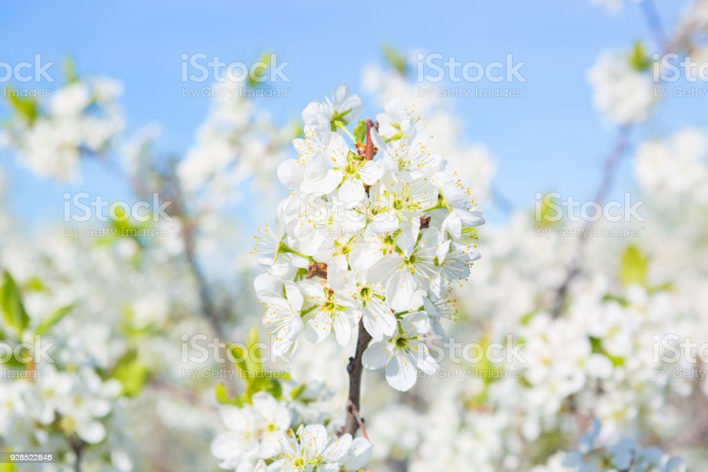 White flowers of cherry blossoms on sunny spring day stock photo white flowers of cherry blossoms on sunny spring day royalty free stock photo mightylinksfo