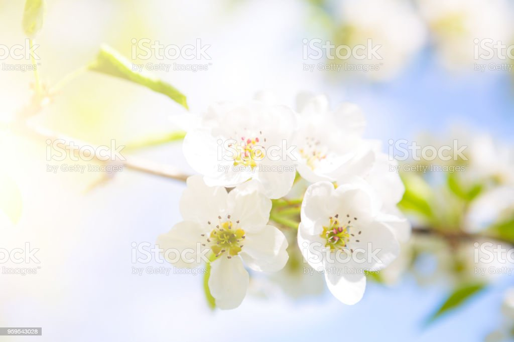 White Flowers Of Cherry Blossoms On Sunny Spring Day Stock Photo