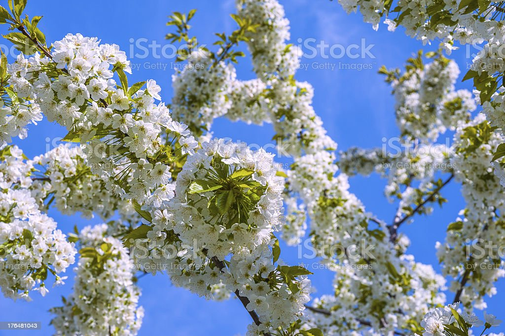 white flowers of cherry royalty-free stock photo