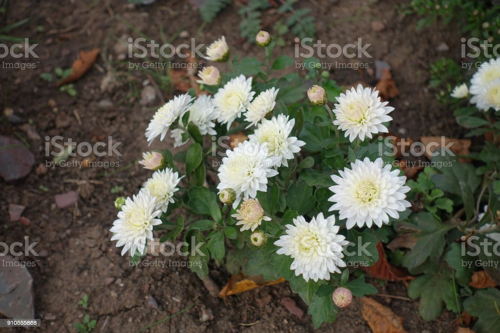 White flowers of chrysanthemum in mid october stock photo more autumn cream dairy product flowerbed plant season white flowers of chrysanthemum in mid october mightylinksfo