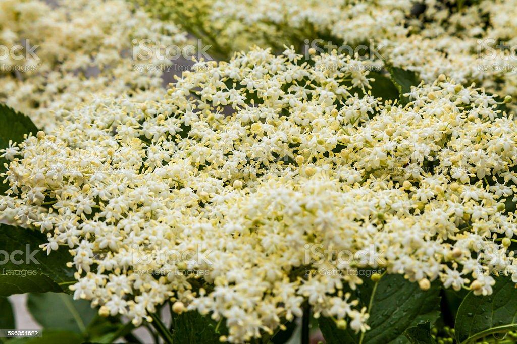 White flowers of elderberry in the summer garden. royalty-free stock photo