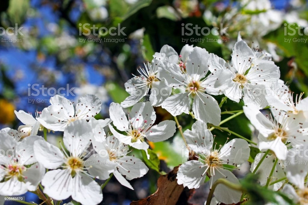 White flowers of evergreen pear tree stock photo more pictures of pear springtime california san diego usa white flowers mightylinksfo
