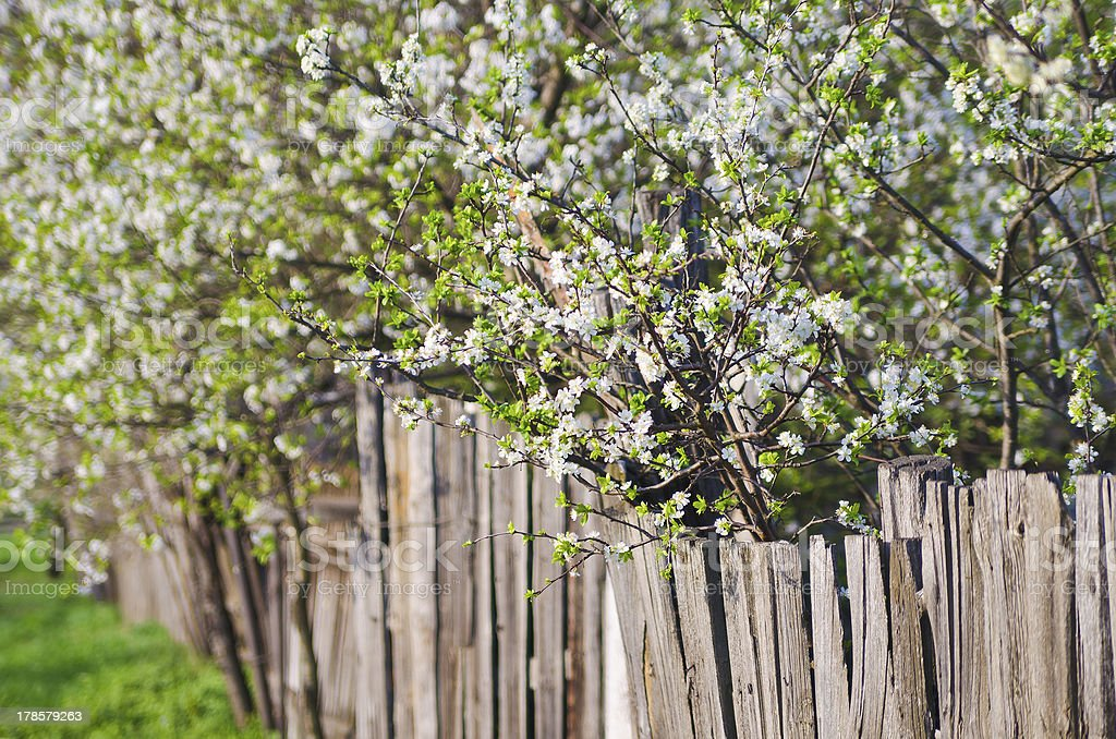 white flowers of freshness blossoming trees. Beauty nature backgrounds royalty-free stock photo