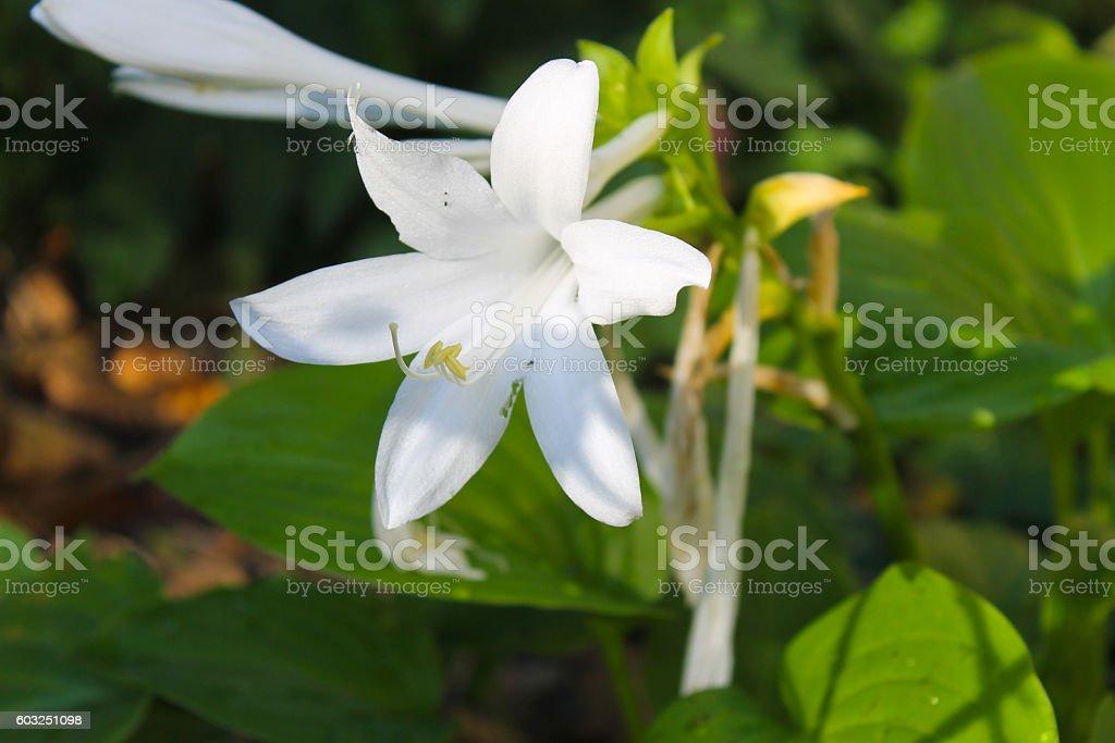 White flowers of hosta stock photo istock white flowers of hosta royalty free stock photo mightylinksfo