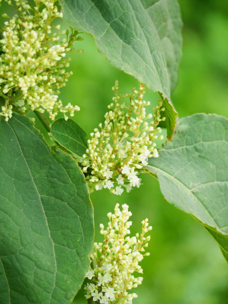 white flowers of japanese knotweed, polygonum cuspidatum, fallopia japonica - knotweed stock pictures, royalty-free photos & images