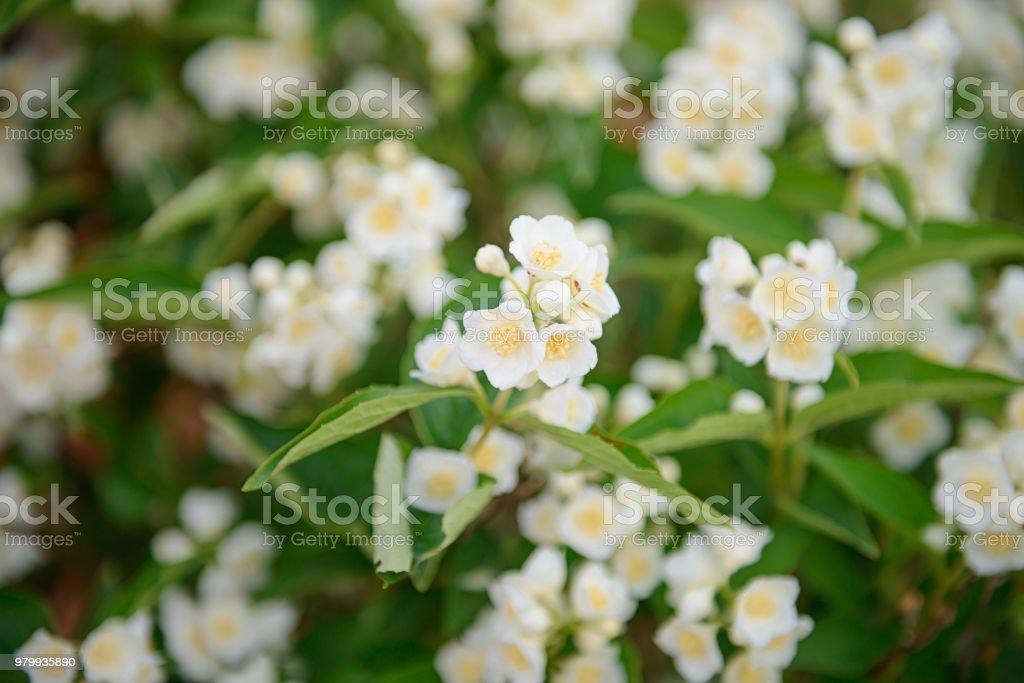 White flowers of jasmine bush on a summer day stock photo more white flowers of jasmine bush on a summer day royalty free stock photo mightylinksfo