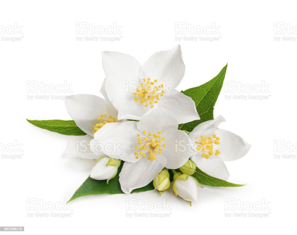 White flowers of jasmine on white isolated background – zdjęcie
