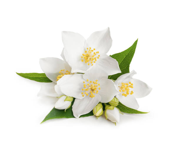 White flowers of jasmine on white isolated background stock photo