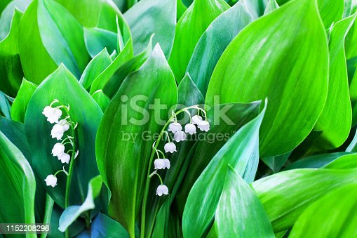 istock White flowers of lily of the valley on green leaves blurred background closeup, may lily flower macro, Convallaria majalis in bloom, beautiful spring or summer nature floral blossom design, copy space 1152208296