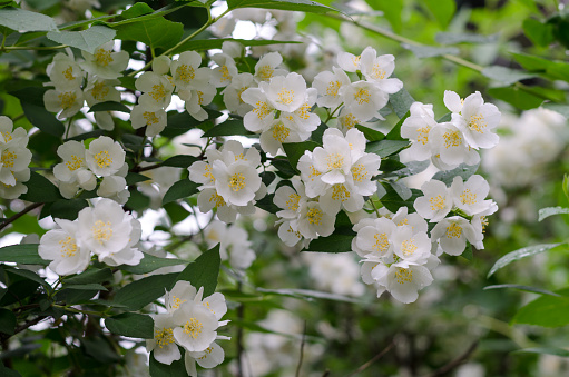 White flowers of mock orange and green leaves