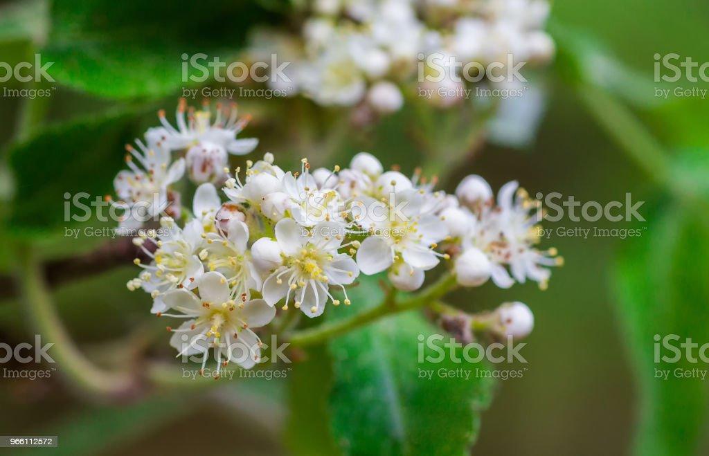 Witte bloemen voor mountain ash - Royalty-free Bes Stockfoto
