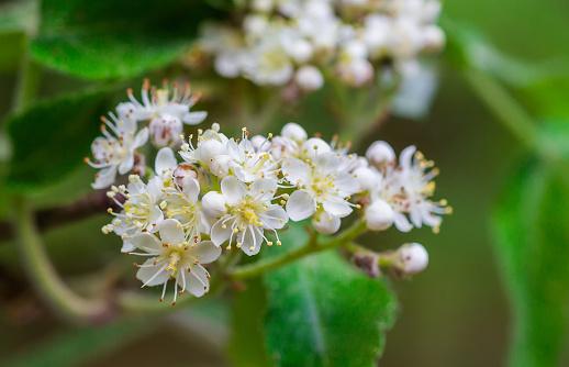 Witte Bloemen Voor Mountain Ash Stockfoto en meer beelden van Bes