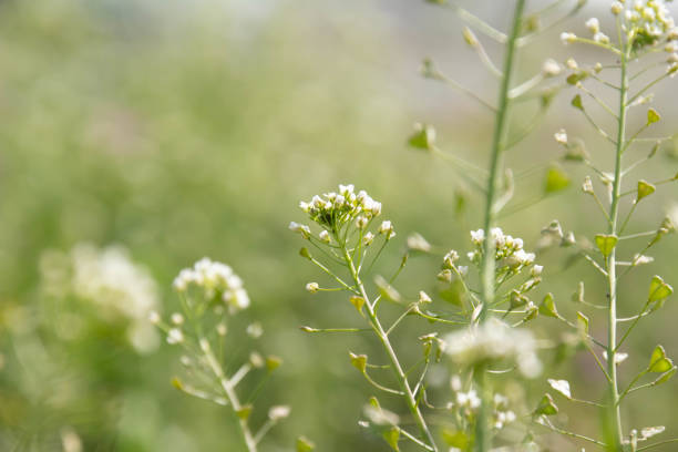 White flowers of Nazna blooming in the spring field Wildflowers such as Capsella bursa-pastoris, which grow wild in the field in the spring, are in bloom. shepherd's purse stock pictures, royalty-free photos & images