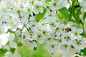 A bee collects nectar from white flowers of pear trees in the spring garden