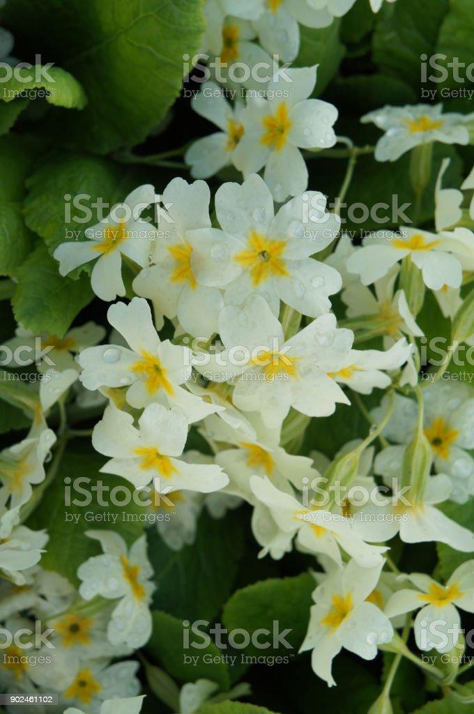 White flowers of primrose or english primrose with green stock photo