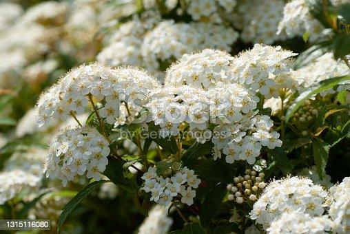 White flowers of Reeves spirea Full Bloom