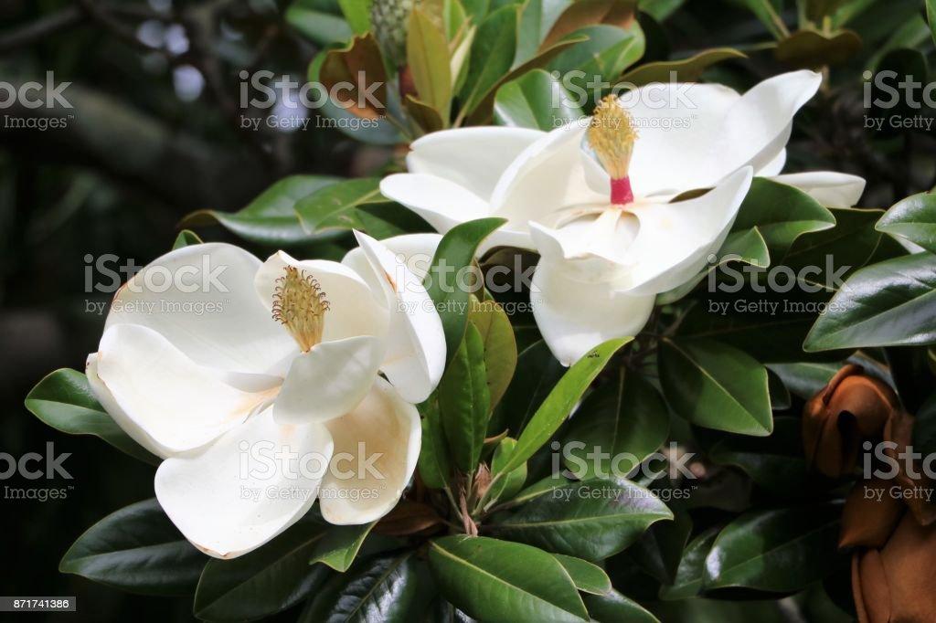 White flowers of Southern magnolia Sydney, Australia stock photo