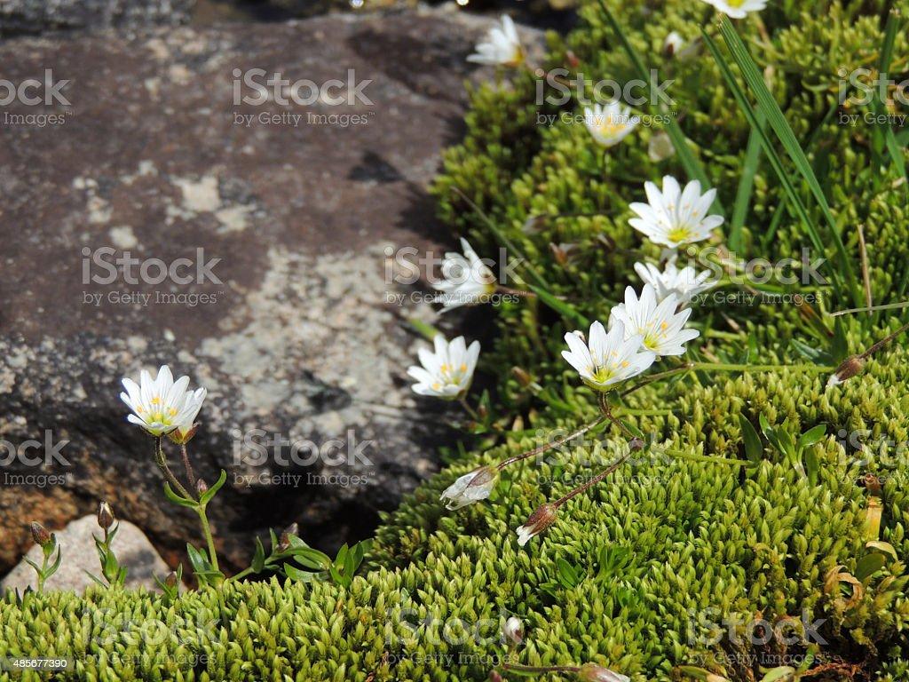 White Flowers Of Stellaria Longifolia On Green Moss Stock Photo