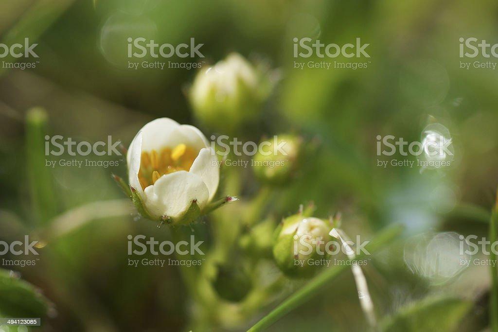 Белые цветов и клубника в утренняя роса стоковое фото