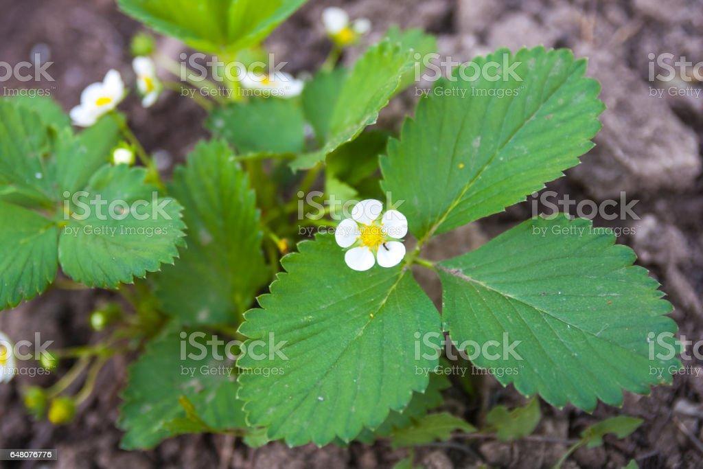 Белые цветов и клубника стоковое фото