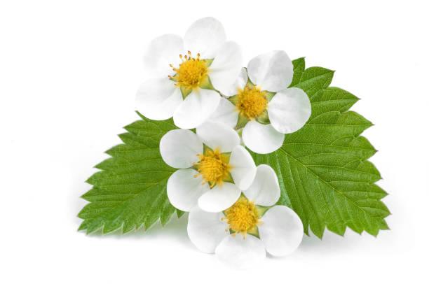Witte bloemen van aardbeien met blaadjes op de witte foto