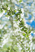 Flowers of the cherry blossoms on a spring day in garden. Springtime concept