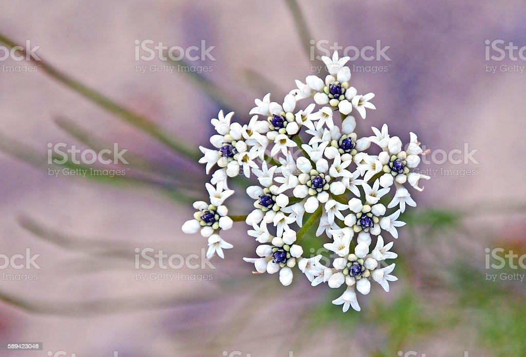 White flowers of the Australian Conospermum ellipticum stock photo