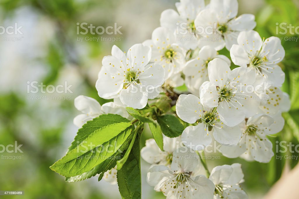 White flowers of the cherry blossoms on a spring day royalty-free stock photo