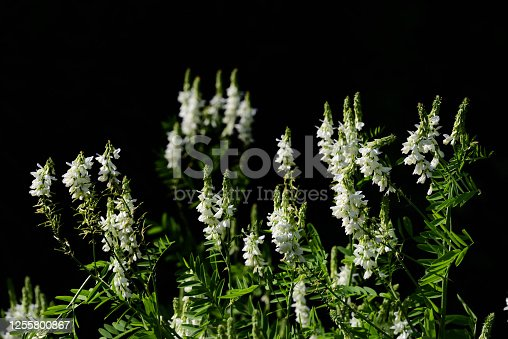 White flowers of the goat's rue (galega officinalis) bloom in front of a dark background in the garden