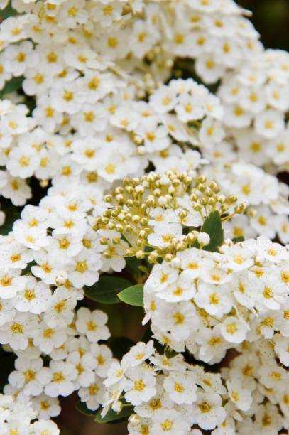 White flowers of the spiraea plant in spring Spiraea flowers blooming in spring in a garden in Nijmegen the Netherlands werken stock pictures, royalty-free photos & images