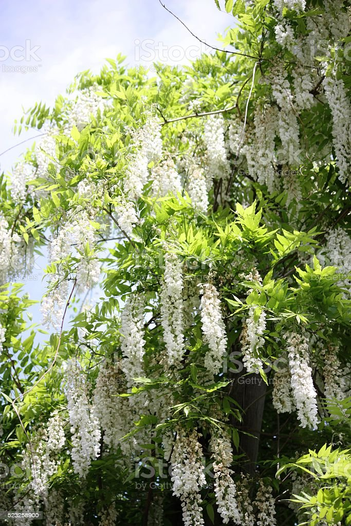 White flowers of wisteria hanging bush laburnum stock photo more white flowers of wisteria hanging bush laburnum royalty free stock photo mightylinksfo