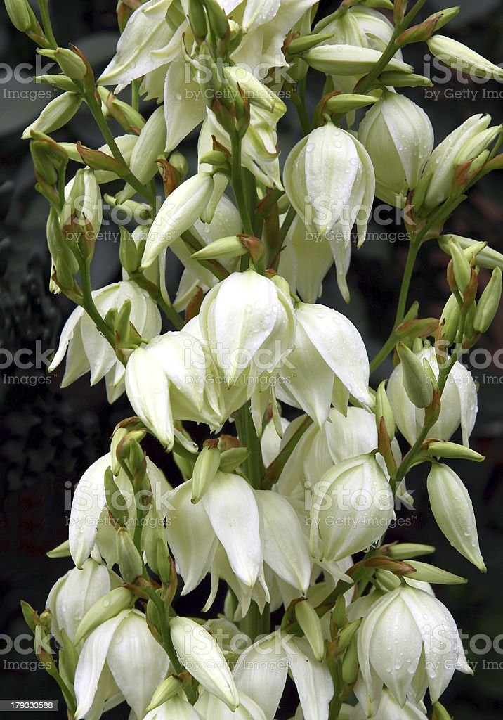 White flowers of yucca tropical plant stock photo more pictures of white flowers of yucca tropical plant royalty free stock photo mightylinksfo
