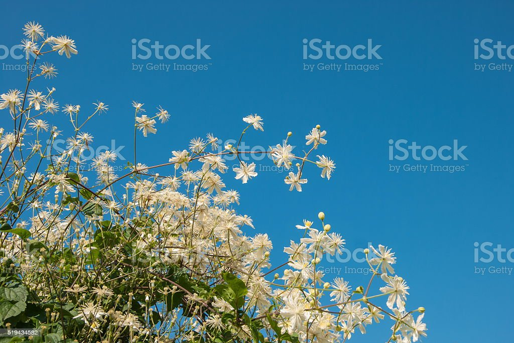White flowers on a background of the sky stock photo
