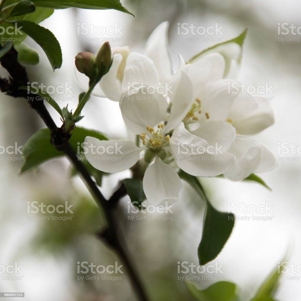 White flowers on a tree royalty-free stock photo