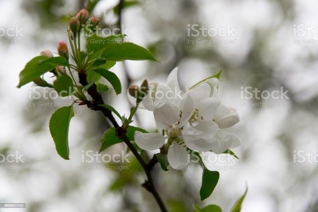 흰색 꽃 트리 royalty-free 스톡 사진