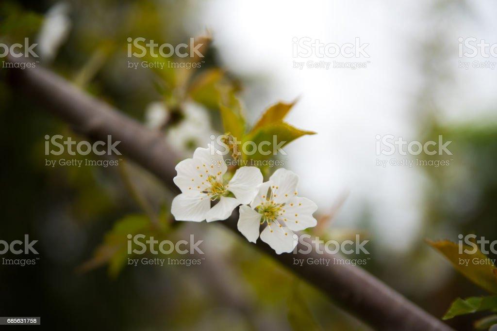 ホワイトの花の木 ロイヤリティフリーストックフォト