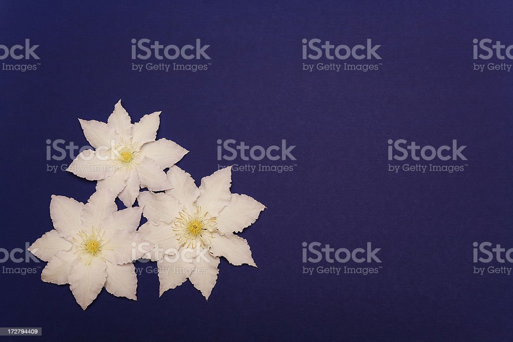 White flowers on blue construction paper stock photo
