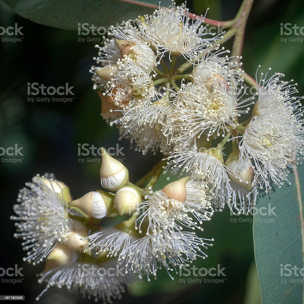 White flowers on blue gum eucalyptus species stock photo more white flowers on blue gum eucalyptus species royalty free stock photo mightylinksfo
