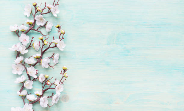 White flowers on blue wooden background Abstract spring background of painted blue board with branch of flowering cherry branch covered with white flowers springtime stock pictures, royalty-free photos & images