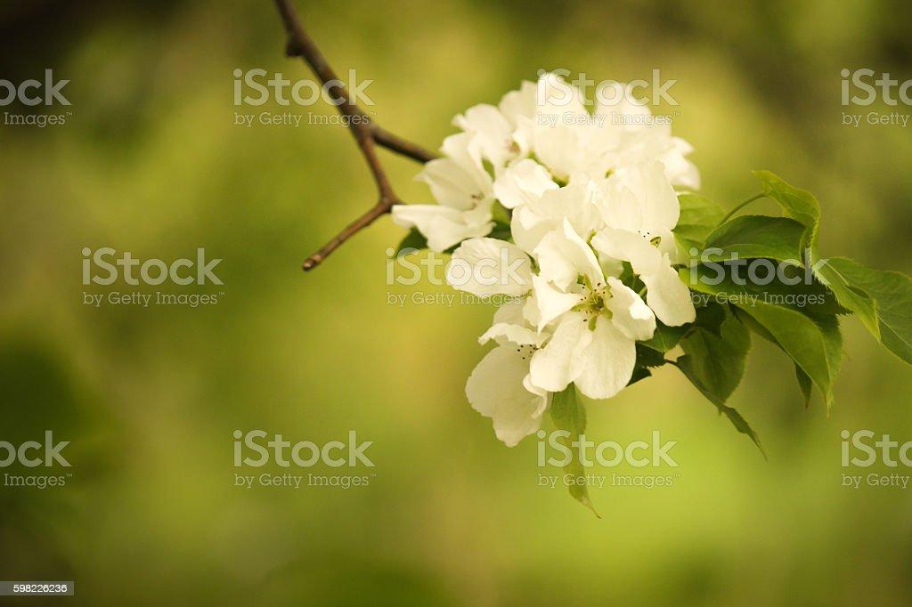 Flores brancas na filial foto royalty-free